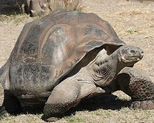 Aidwata The Aldabara Giant Tortoise