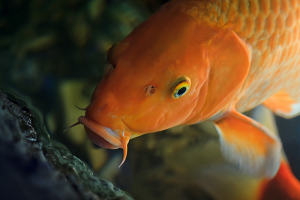 Hanako The Koi Fish
