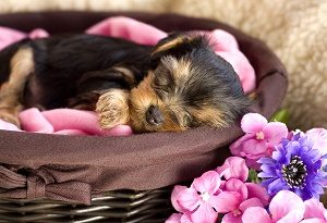Yorkshire Terrier Baby