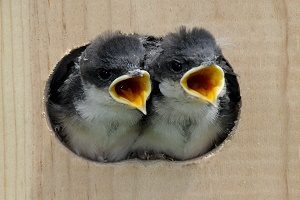 Swallow Baby