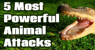 5 Most Powerful Animal Attacks