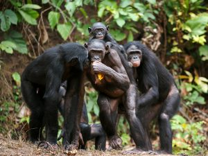 How Smart Are Bonobos