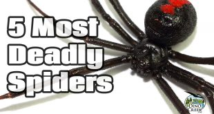 deadliest spiders