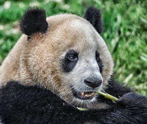 Panda No Not Pandas!