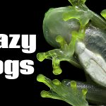 4 Craziest Frogs
