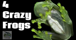 4 crazy frogs