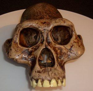 492px-australopithecusafarensis_reconstruction