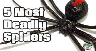 deadliest spiders